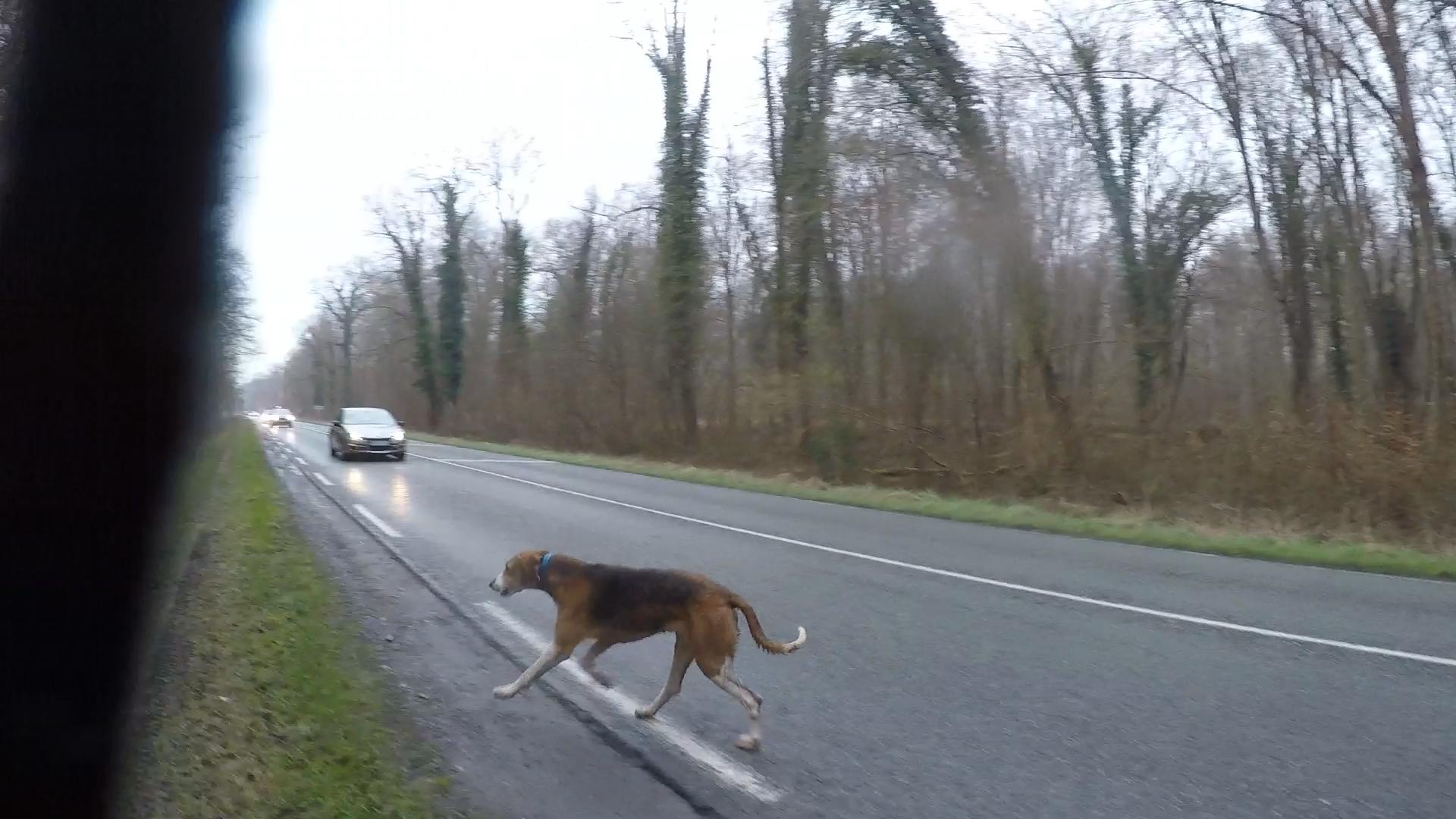 chasse à courre chien